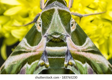 Close up of Oleander Hawk-moth or army green moth (Daphnis nerii) on marigold flower, dorsal view