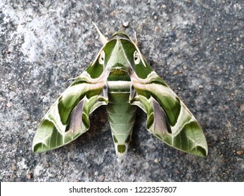 Close up Oleander Hawk-moth or Gardenia Hawk-moth, Daphnis nerii is on the concrete floor at thailand.