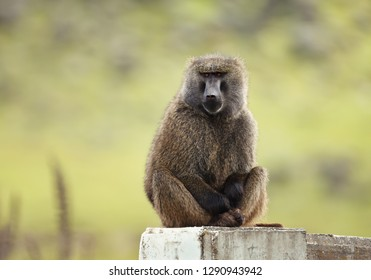 Close up of an olive baboon (Papio anubis) sitting on concrete post against green background, Ethiopia.