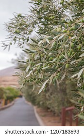 Close up of a olive tree branch with olives.