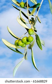 close up of an olive tree over the sky