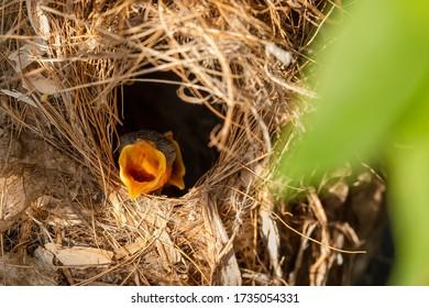 Close up of olive-back baby birds waiting for feeding inside nest