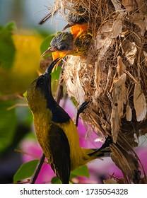Close up of olive-back mother feeding baby birds inside nest