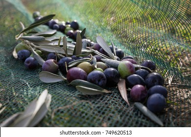 Close up of olives in a net. Olive harvest