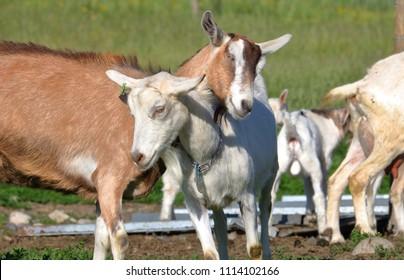 Fainting Goats Wv