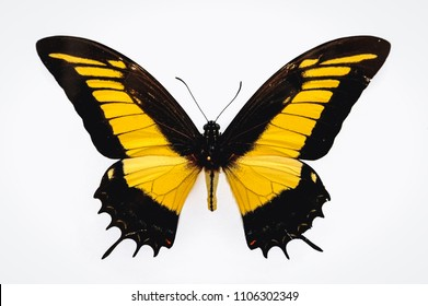 Close up on a Androgeus swallowtail butterfly isolated on white background