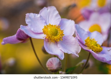 Close up on Anemone scabiosa plant commonly known as Chinese anemone or Japanese anemone