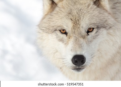 Close up on a arctic wolf in winter.