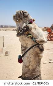 Close up on a beautiful camel outside the pyramids of Giza.