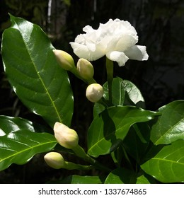 Close up on beautiful white gardenia flower blooming in the garden
