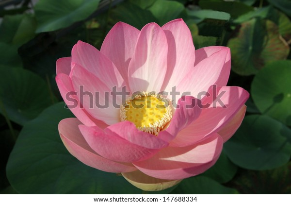 Close up on beautiful white water lily or lotus flower and leaves in a pond