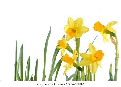 close on beautiful yellow daffodils isolated on white background