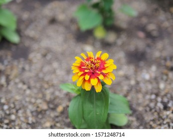 Close up on beautiful yellow orange blooming petals of Zinnia flower with blurred green leave and soil as background