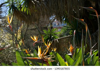 Close up on Bird of Paradise flowers in Botanical Gardens, Lisbon, Portugal