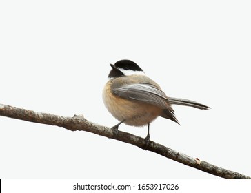 close up on black capped chickadee bird isolated on white background