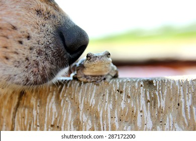 Close up on the black nose of a curious but friendly German Shepherd dog as he sniffs a Grey Tree Frog sitting outside in the garden