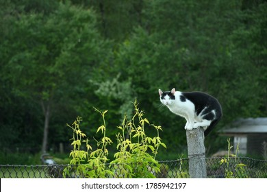 Close up on a black and white cat standing on a concrete pole being a part of a metal fence support next to some vines or other shrubs with a dense forest or moor behing the furry animal
