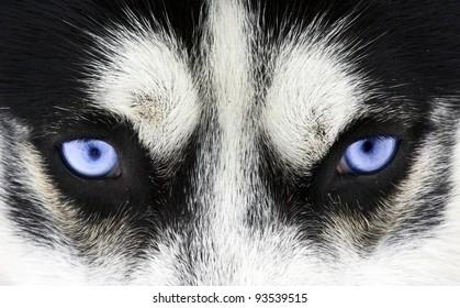 Close up on blue eyes of a dog