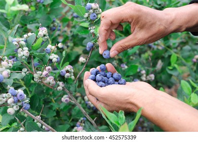 close up on blueberry picking by hand