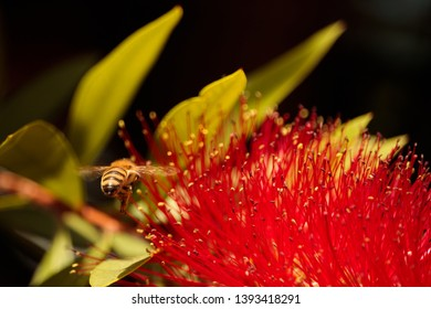 Close up on Bottle Brush bloom with a bee hovering over it.
