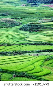 close up on bright green rice field, Sa Pa, Vietnam