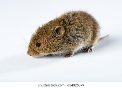 Close up on brown field mouse isolated on white.