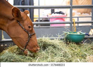 Close up on a brown heifer cow eating from a bale of alfalfa hay in a barn stall, with space for text on the right