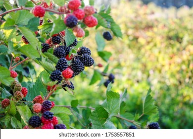 Close up on a bunch of blackberry  and  raspberry fruits