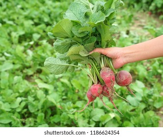 close up on a bunch of radish holding in hand