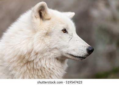 close up on the Canadian arctic wolf in the summer months.