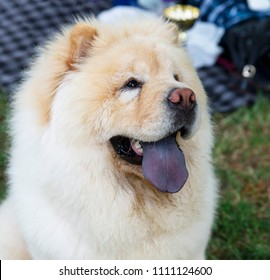 close up on chow chow dog and the blue tongue