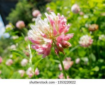 close up on a clover flower