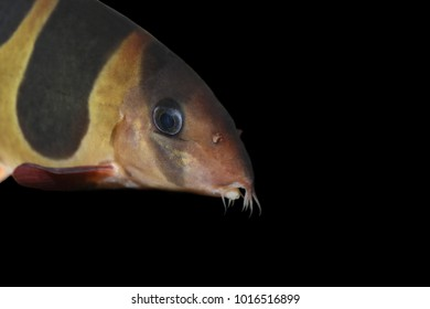 Close up on an Clown loach (Chromobotia macracanthus) in aquarium