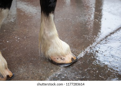Close up on a Clydesdale horse hoof standing on wet pavement during a rainy parade