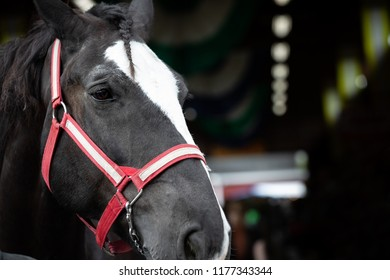 Close up on the face of a clydesdale horse, with red and white bridle for an American beer company, with space for text on the right