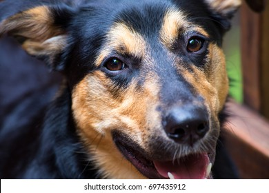 Close up on face of a happy dog.  Mixed breed of Rottweiler and German shepherd