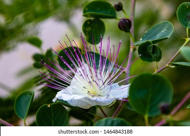 Close up on flowers of caper shrub (capparis spinosa). Purple and white flowers of caperous spiny. Capparis spinosa, the caper bush, also called Flinders rose. Exotic flowers.