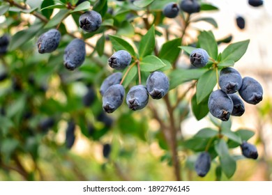 close up on fresh blueberry on the tree. Blueberries farm in harvest season with bunch of ripe fruits on tree. Blueberry picking background. Soft and select focus Defocused background