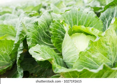 Close up on Fresh cabbage in harvest field. Cabbage are growing in garden. Organic vegetable background in freshness atmosphere farm on mountain with mist in morning. Agriculture concept.