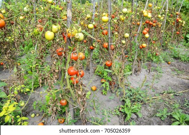 Close up on the garden with tomatoes plants get sick by late blight. Phytophthora infestans causes the serious tomatoes disease.