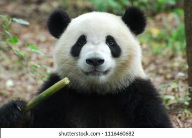 close up on giant panda eating bamboo shoot