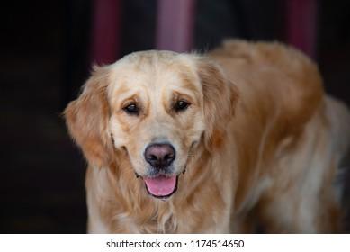 close up on golden retriver labrador dog