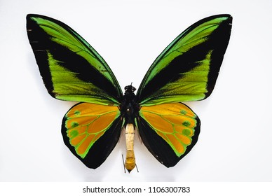 Close up on a Goliath birdwing butterfly isolated on white background