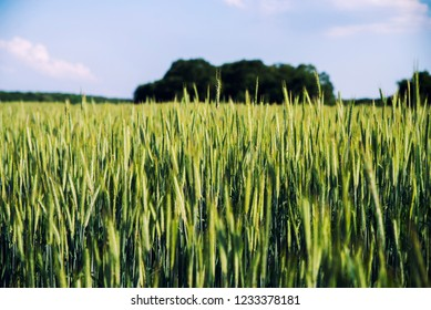 close up on grain in the field