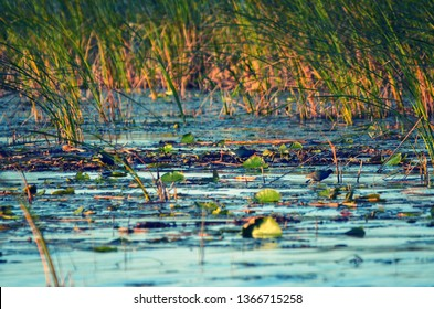 Close up on grass growing in lake okeechobee Florida, during golden hour