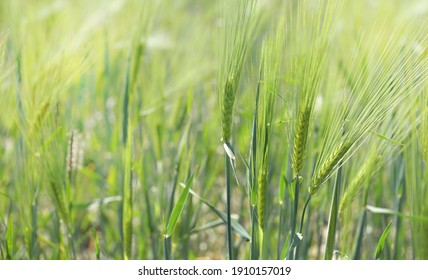 close on green cereal plant growing in a sunny field