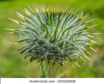 Close up on a green thistle