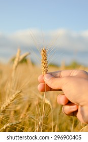 Close up on hand holding wheat spikelet on sunny day blue sky outdoors background