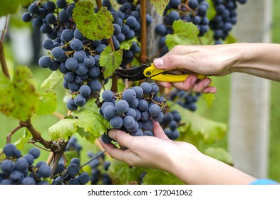 Close up on hands that are harvesting blue grapes.