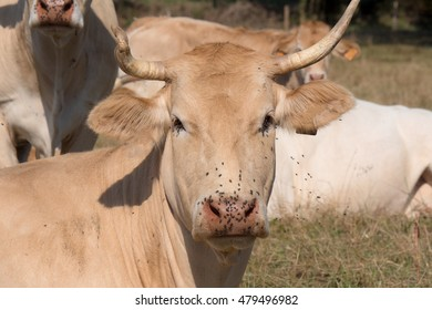 a close up on the head of a cow with flies